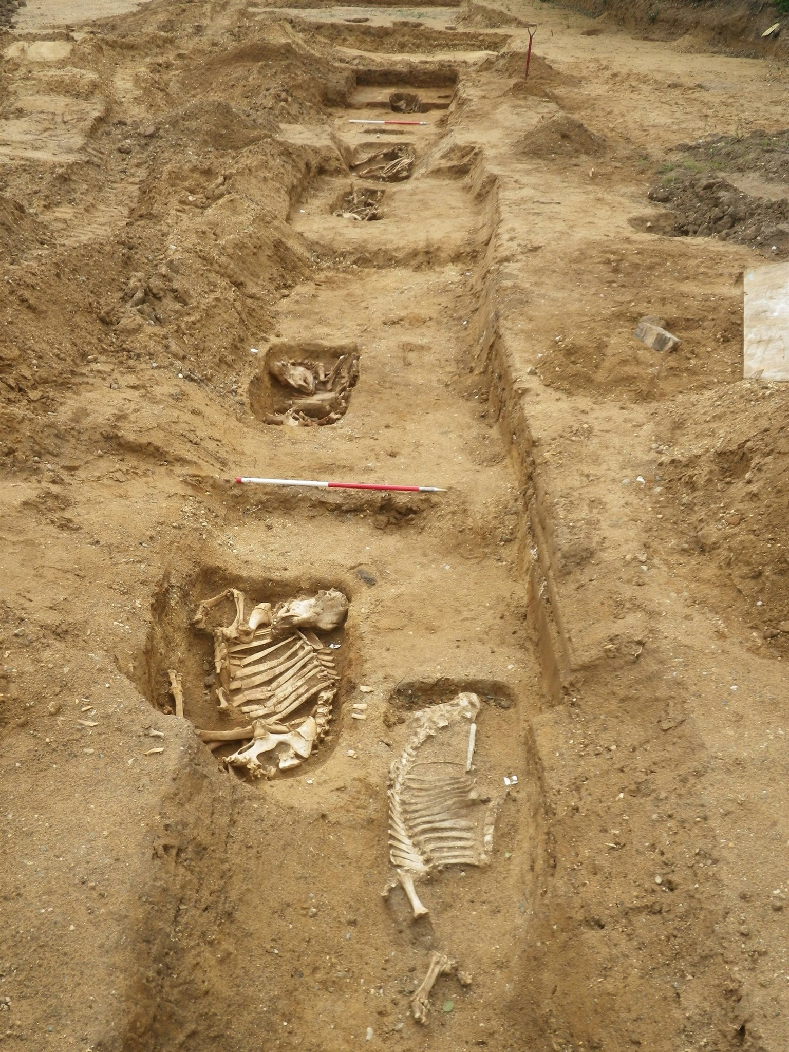 The row of animal burials at Campsea Ashe, Suffolk